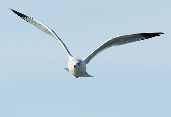 Ring-billed Gull Larus delawarensis in flight flying