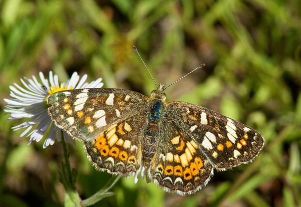 Field Crescent Phyciodes campestris Butterfly True ...