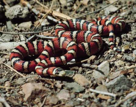 Sonoran Mountain Kingsnake Lampropeltis pyromelana